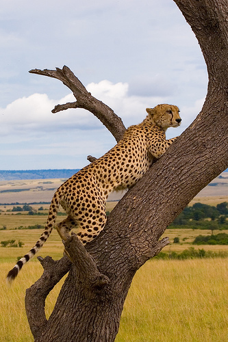 Cheetah on the hunt