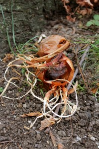 Old Onion